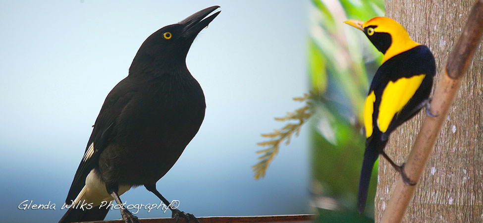 A Currawong after taking a drink