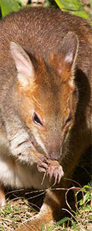 link to Mt Glorious creatures and wildlife